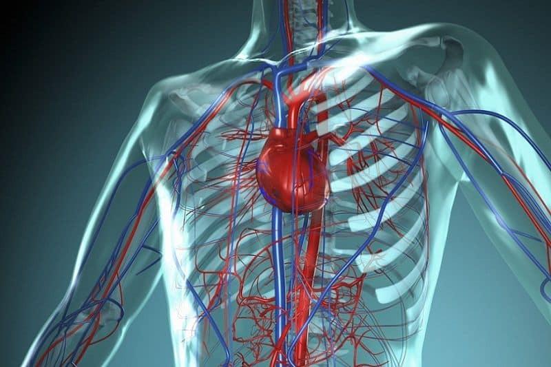 Сердечно – сосудистая система человека
