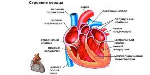 Строение сердечной мышцы.