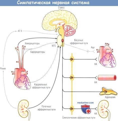 Симпатическая нервная система.