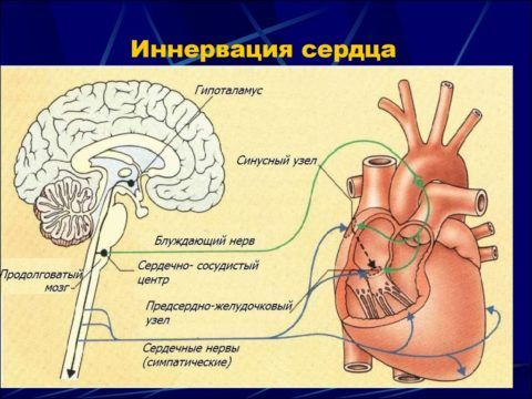 Контроль проведения импульса осуществляется с сердечно-сосудистого центра, расположенного в продолговатом мозге.