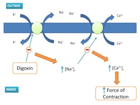 Принцип стимуляции аритмии дигоксином – антиаритмическим препаратом.