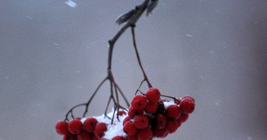 Лучшее время заготовки ягод – осень при наступлении первых заморозков