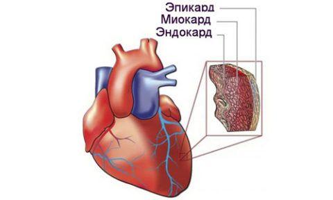 Строение сердечной мышцы