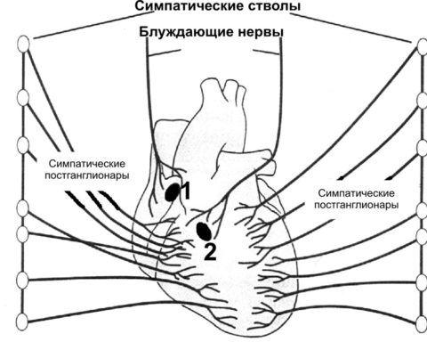 Иннервация главного органа
