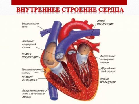 На фото показано анатомическое строение органа.