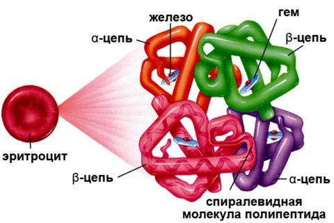Железо в молекуле гемоглобина
