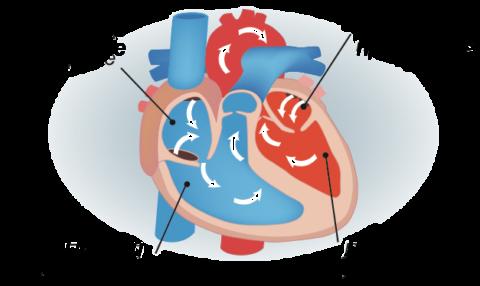 Анатомическое строение сердца.