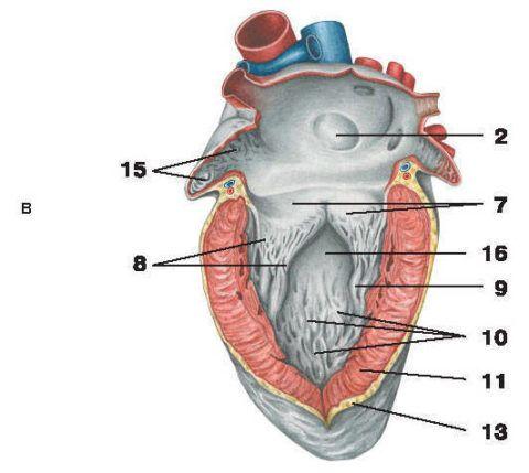Задняя (левый желудочек)