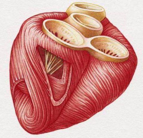 Миокард – мышца, которая отвечает за сократительную функцию сердца.
