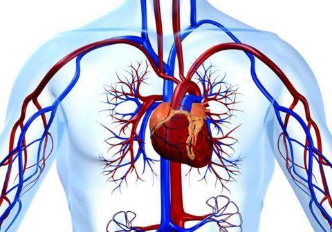 На фото строение сердечно-сосудистой системы.