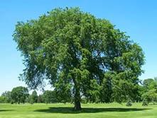 Исцеление деревьями